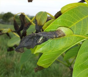 Frost damage to walnut leaves