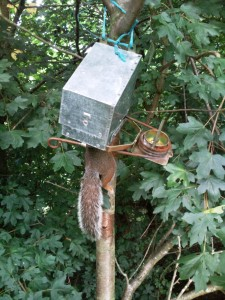 Grey Squirrel caught in Kania 2000 trap