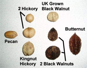 Shell Outlines for the Juglandaceae which is the family name that encompasses Walnuts, Hickory, Butternut, Heartnut, Pecans