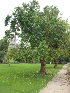 Bishops Palace, Wells - Black Mulberry tree