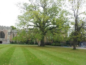 Bishops Palace, Wells - Black Walnut tree