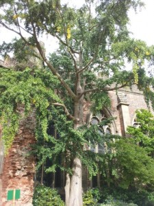Bishops Palace, Wells - Ginkgo tree