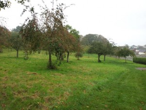 Glastonbury Abbey Apple Orchard