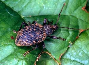 Adult Black Vine Weevil