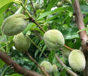 almonds2-2014-07-05 16.28.59