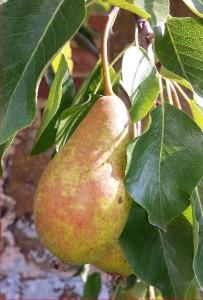winwick-rh-pear-2014-07-31 09.53.20