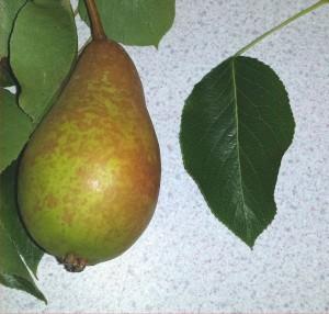 winwick-rh-pear-2014-07-31 17.39.31