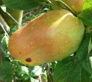 1047-apple-pear-2014-08-10 17.00.18-cropped