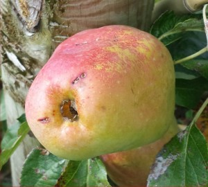 1047-apple-pear-2014-08-10 17.00.37-cropped