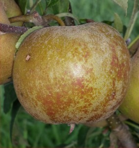 1318-Apple-Golden-Russet-2014-08-10 16.55.59-cropped