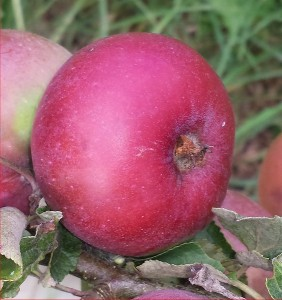 1778-Apple-Rouget-Plouer-2014-08-10 16.52.27-cropped