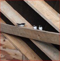 swallows2-2014-08-19 11.42.25