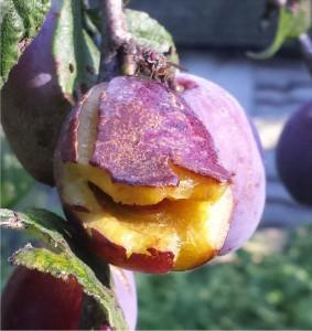 wasp-plum-split-2014-08-27 08.25.39