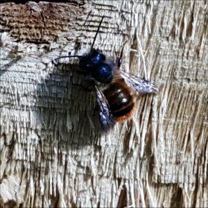 mason-bee3-2015-05-10 09.52.52