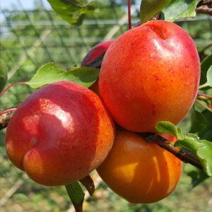 4179-apricot-springblush-2015-07-12 15.26.34-2