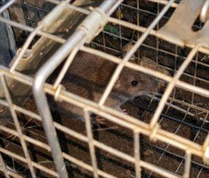 brown-rat-2015-07-25 09.26.09