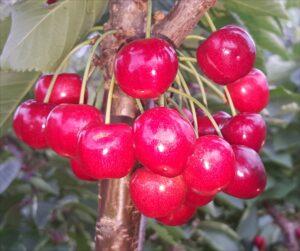 Cherry - 'Karina'