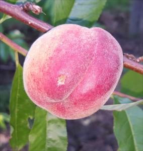 peach-33545-avalon-pride-2015-07-25 09.29.28