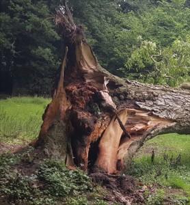 winwick_walnut-tree2-2015-06-16 07.50.38