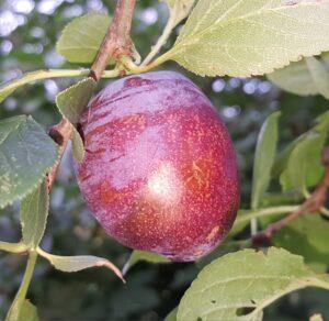 1675-plum-herman-cropped-2015-08-16 17.39.58