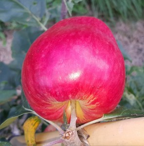 1856-apple-norland-cropped-2015-08-16 10.39.33