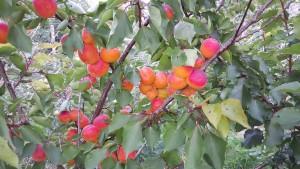 4183-apricot-kioto-cropped-2015-08-16 17.17.17