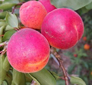 4183-apricot-kioto-cropped-2015-08-16 17.17.44