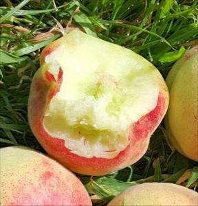Peach-3354-Avalon-Pride-cropped-2015-08-02 16.14.10
