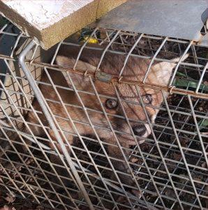 fox-cub-2016-05-05 17.57.34