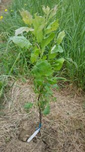 plum-weevils1