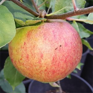 Apple - Langton Nonesuch