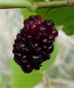 886-Mulberry-Illinois-Everbearing-2014-08-26 17.06.52