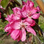 Spring 2021 is here – Apple blossom is out 30th April 2021